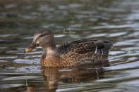female-mallard-duckimg_2913-1
