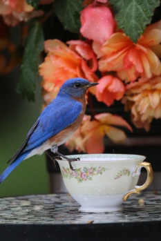 male bluebird getting food to feed his nesting brood